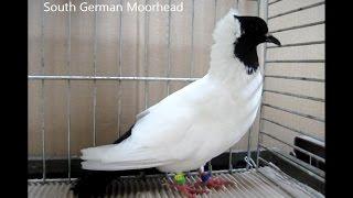 getlinkyoutube.com-Fancy Pigeon Breeds S, Rassetauben in Englisch mit S