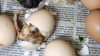 getlinkyoutube.com-Hatching Chicks, Part 3 of 3