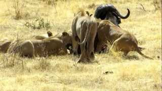 getlinkyoutube.com-Lions catch and kill buffalo in Ngorongoro crater