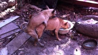 My 3 Chihuahuas having sex