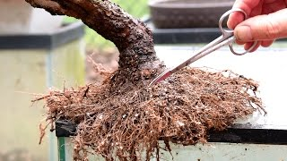 getlinkyoutube.com-Repotting and Root Pruning a Weeping Willow Bonsai, April 2016