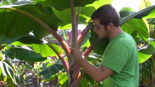 getlinkyoutube.com-*Plant-Jamaican Red-Banana Trees* +Correctly+Dwarf Banana Tree+