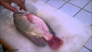 getlinkyoutube.com-Harvesting Tilapia from the Aquaponics System. How to Fillet.