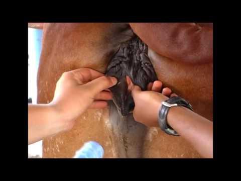 Inseminación artificial en bovinos - TvAgro por Juan Gonzalo Angel
