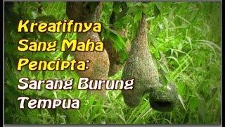 getlinkyoutube.com-Allah Maha Kreatif @ burung Tempua