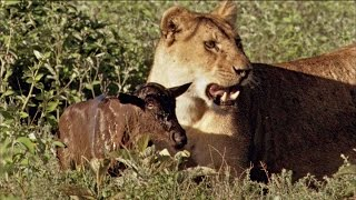 getlinkyoutube.com-Baby Wildebeest Treats Lioness Like Mom