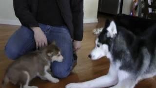 getlinkyoutube.com-Laika meets Mishka & Moki!