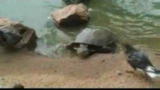 getlinkyoutube.com-Tortoise Eats Pigeon