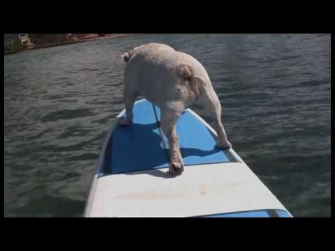 More of Gracie the Surfing Bulldog  (at Ty Gurney Surf School)