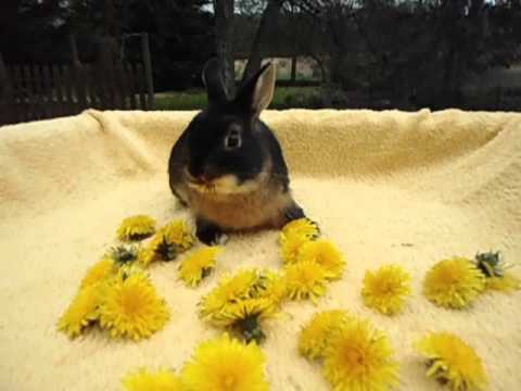 bébé lapin nain feu noir elevage lapinsnainsfolies
