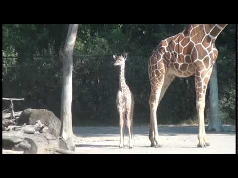 Fort Worth Zoo Baby Giraffe