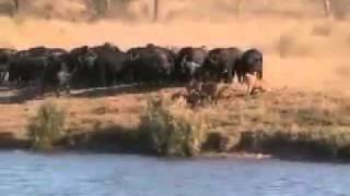getlinkyoutube.com-زیبا ترین ویدئو از حیات وحش ،وقتی اتحاد باشه شیرهم باشه فرارمیکنه!