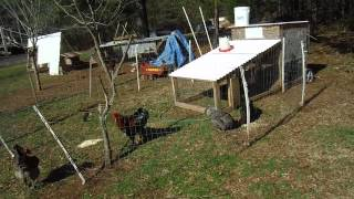 getlinkyoutube.com-Free Range Your Chickens Safely