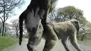 monkey porn