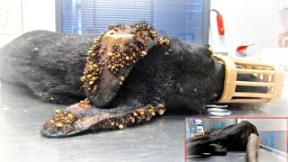 getlinkyoutube.com-Puppy covered in thousands of ticks and with embeded wire on her tail makes an amazing recovery