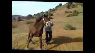 Elevage Atlas Molosses (Jument Arabe Barbe)