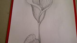 getlinkyoutube.com-Calla zeichnen.  Blume Zeichnen.  Zeichnen lernen für Anfänger