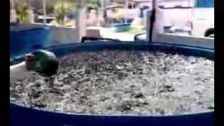 Effective system to grow catfish (clarias batrichus)