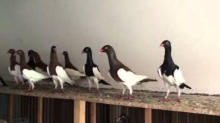 getlinkyoutube.com-Lajos Szabó's Magpie pigeons