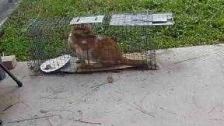 getlinkyoutube.com-Feral Cat Trapping