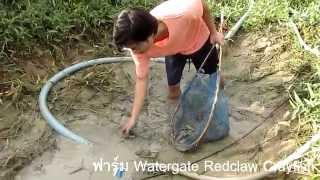 จับ กุ้งก้ามแดง ก้นบ่อตามร่องสวน ฟาร์มกุ้งก้ามแดง กำแพงเพชร By Watergate