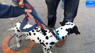 getlinkyoutube.com-,كلب الدلميشن  مع جمال العمواسي