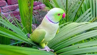Natural Parrot Sounds