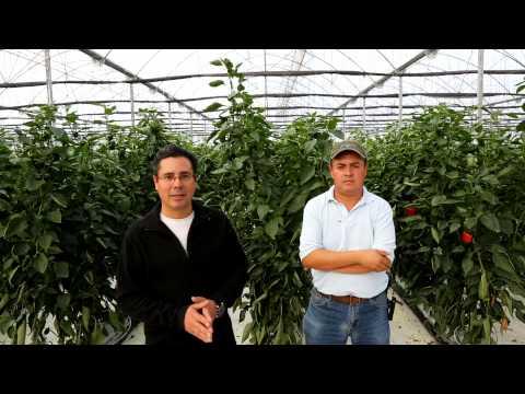 Hoogendoorn Mexico - Invernaderos de Apapataro - Queretaro