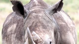 "getlinkyoutube.com-SAFARI LEWA ep. 9 ""Rhino Ears"""