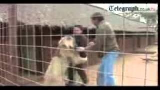 getlinkyoutube.com-vidmo org Napadenie lva na cheloveka  428726