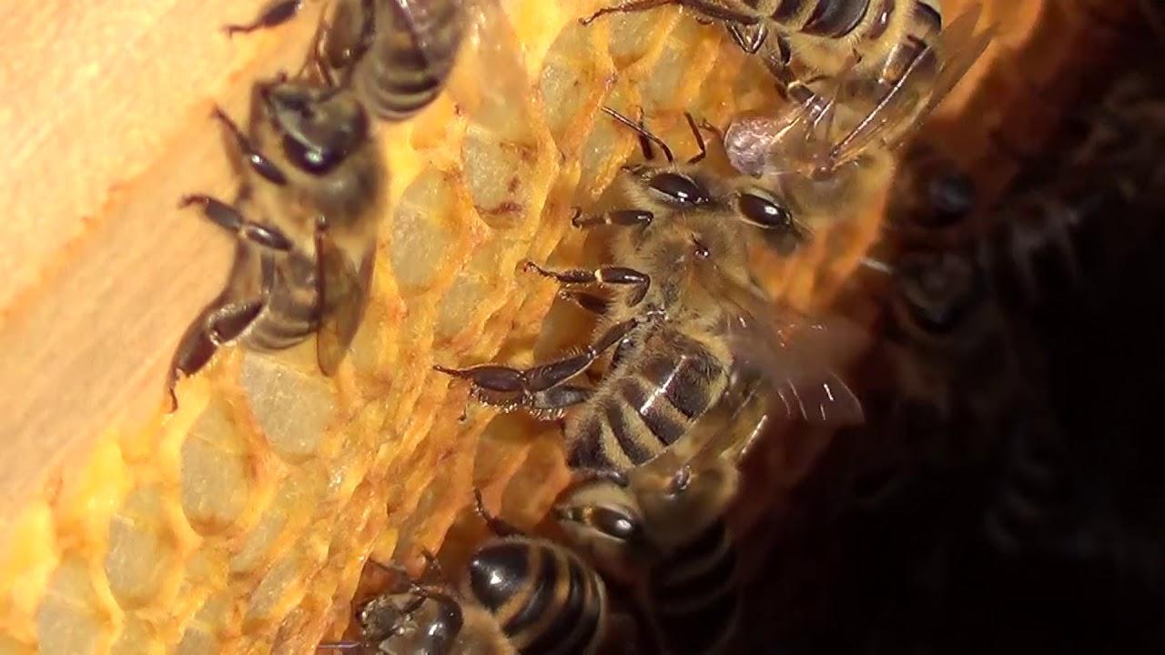 Pčele u košnici na ramovima