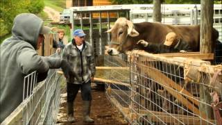 getlinkyoutube.com-How to Haul 5000 lbs. of Trained Oxen