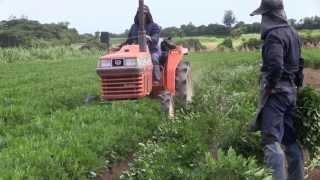 getlinkyoutube.com-種子島の農業:落花生の収穫から処理まで(落花生の中村屋さん)