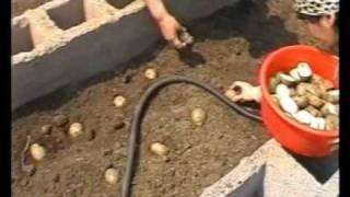 getlinkyoutube.com-Выращивание картофеля (интенсивное)