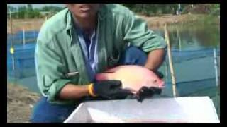 getlinkyoutube.com-Nam Sai tilapia farm and hatchery Thailand.flv