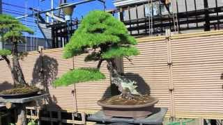 getlinkyoutube.com-bonsai journey japan. seeking light part 3.