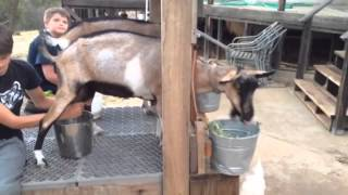 getlinkyoutube.com-Alpine goat!