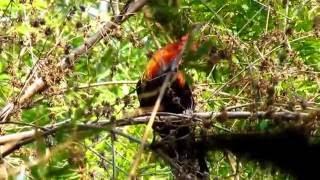 getlinkyoutube.com-ไก่ป่า-Red junglefowl 2011  3/4