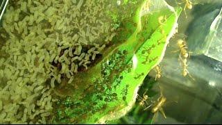 getlinkyoutube.com-My Current Asian Weaver Ant Colony (Inside An Oecophylla smaragdina Nest)