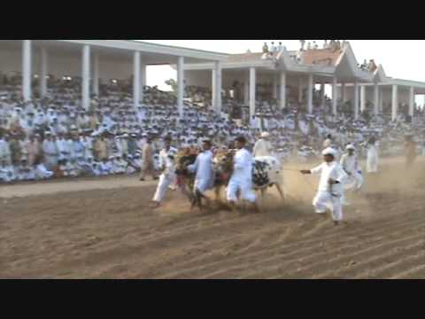 chakwal bull race Karah 14 aug2009 2