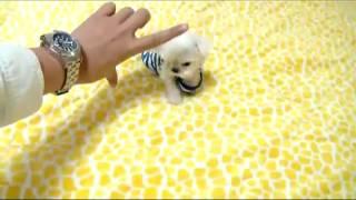 getlinkyoutube.com-Tea Cup maltese tiny size dogs for sale