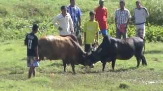 getlinkyoutube.com-วัวซ้อม ลางสาดยอดพยักฆ์ {คมทวน}