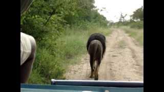 getlinkyoutube.com-Driving Behind Biggest Lion Ever - Lion Kings Scar!!!