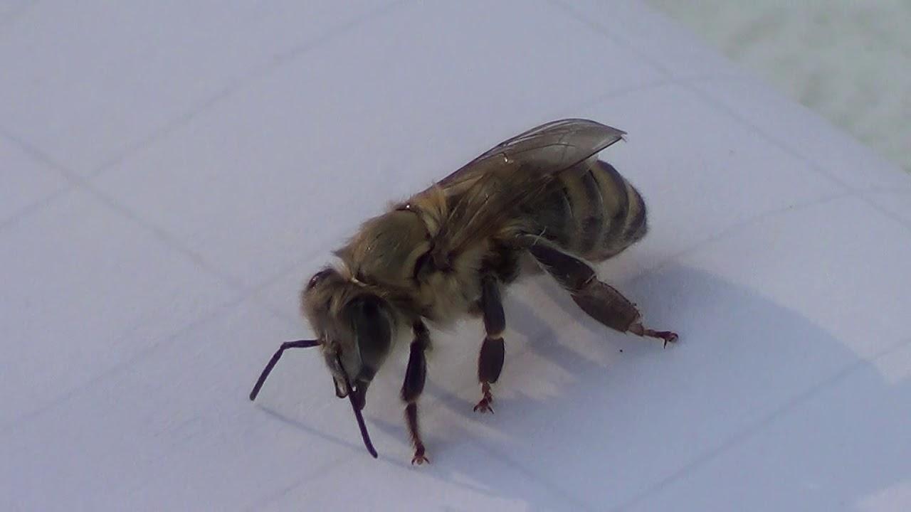 Mlada pčela radilica