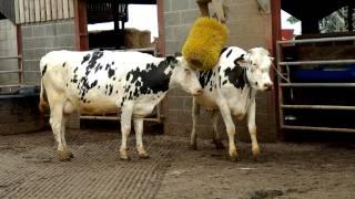 getlinkyoutube.com-Friesian Dairy Cows