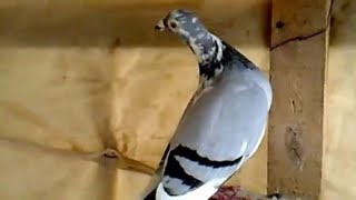 getlinkyoutube.com-Pigeon Voyager 2015