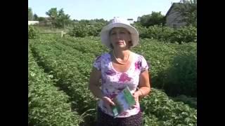 getlinkyoutube.com-Фантастический урожай картофеля! Применяли препарат Байкал ЭМ 1