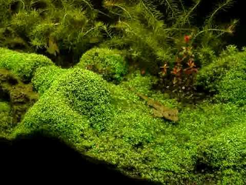 Hemianthus callitrichoides acuario/aquarium 135 Lt