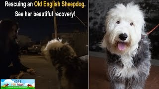 Rescuing an Old English Sheepdog near the railroad tracks.  Please share.