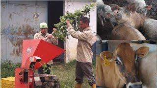 Ensilaje de Maralfalfa y Mata Ratón para Alimentar  Cerdos y Bovinos